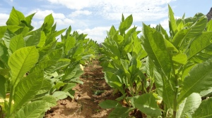 BAUME.BE middennoot geur aftershave balsem tabaksbladeren